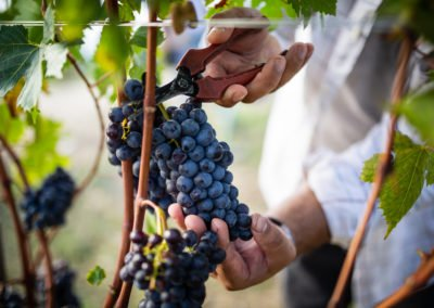 Harvesting of Sangiovese grapes