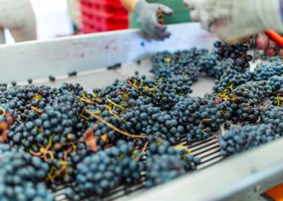Selction of the best grapes of Sangiovese